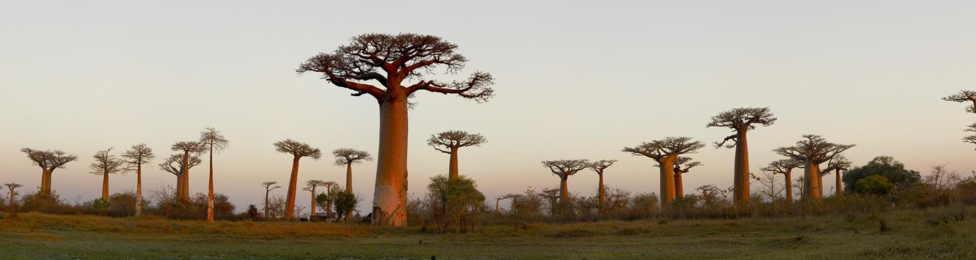 Le baobab véritable trésor d'Afrique avec Natural Origins