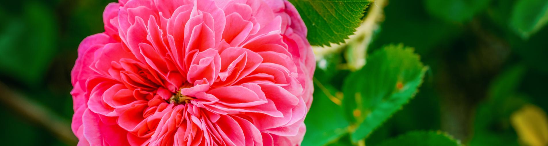 Saisonnalité de Rosa centifolia